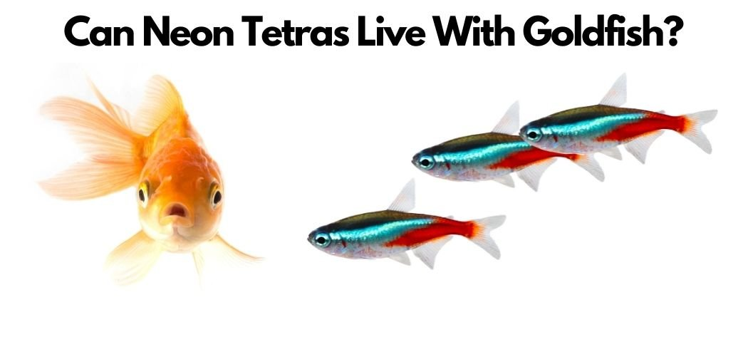 can neon tetras live with goldfish - featured image