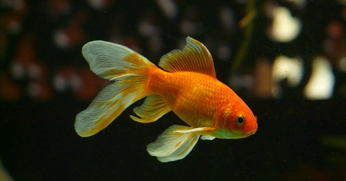 goldfish against blurred dark background