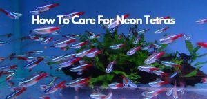 how to care for neon tetras - featured image
