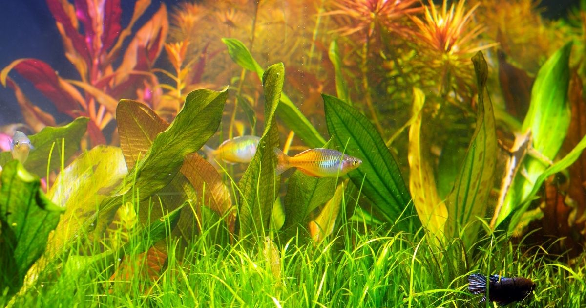 2 silver fish in a tank with aquatic plants