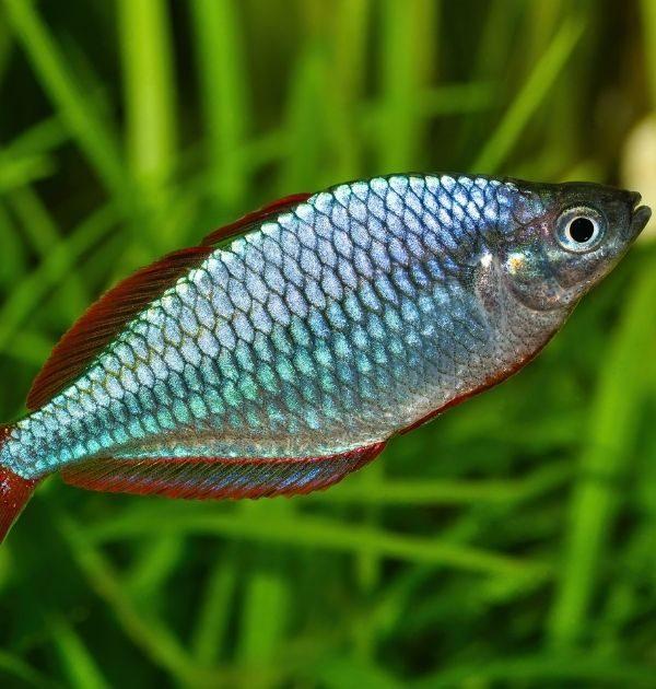 close up of dwarf neon rainbow fish